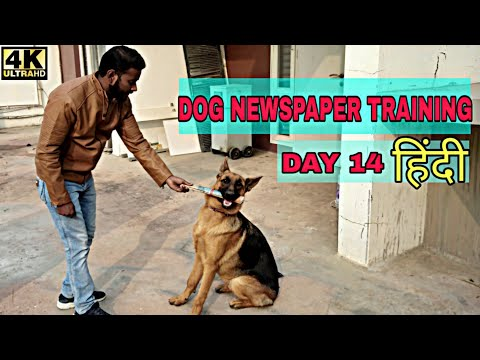 Dog Training – Day 14 || How to Train Your Dog to Fetch Newspaper Trick 4K (Hindi