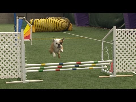 Meet Apricot, the top English bulldog in agility