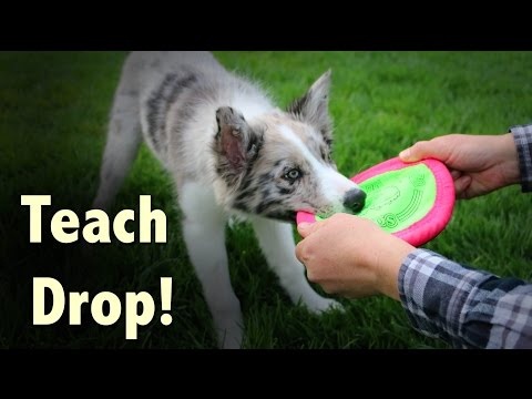 Teach your dog to DROP – Dog Training by Kikopup