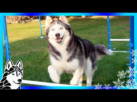 HUSKIES LIKE TO JUMP | Teach your dog Agility | Dog Training