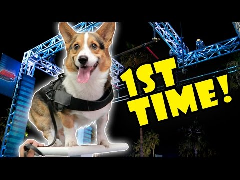 CORGI ATTEMPTS DOG AGILITY OBSTACLE COURSE FOR 1ST TIME