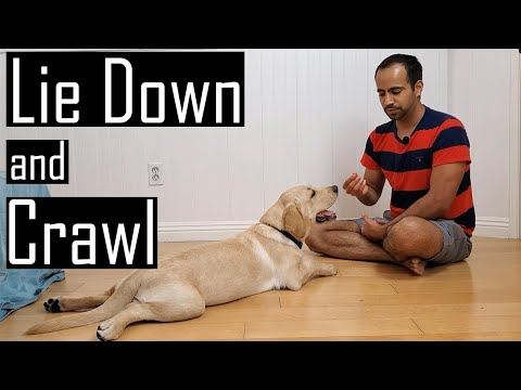 How to Train your Puppy or Dog to Lie Down and Crawl (Hindi with English Subtitles)