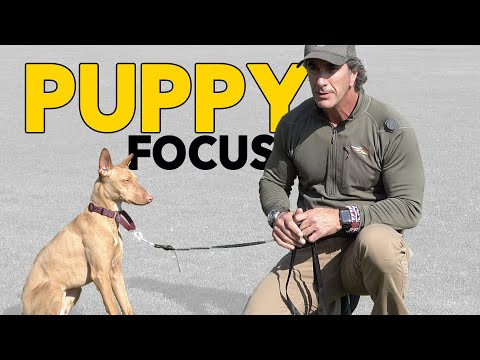 Puppy Training Teach Your Puppy to Focus – Robert Cabral Dog Training Video